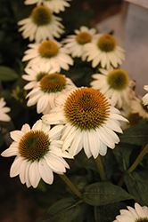 Snow Bomb Coneflower (Echinacea 'Snow Bomb') at Cole's Florist & Garden Centre