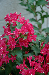 Sonic Bloom Red® Reblooming Weigela (Weigela florida 'Verweig 6') at Cole's Florist & Garden Centre