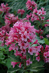Sonic Bloom® Pink Reblooming Weigela (Weigela florida 'Bokrasopin') at Cole's Florist & Garden Centre