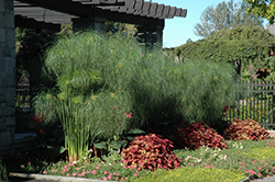 King Tut Egyptian Papyrus (Cyperus papyrus 'King Tut') at Cole's Florist & Garden Centre
