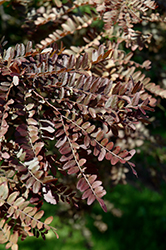 Ruby Lace Honeylocust (Gleditsia triacanthos 'Ruby Lace') at Cole's Florist & Garden Centre