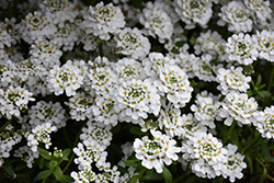 Snowflake Candytuft (Iberis sempervirens 'Snowflake') at Cole's Florist & Garden Centre