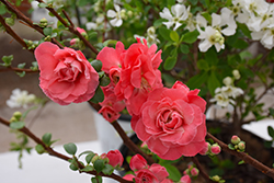 Double Take Pink™ Flowering Quince (Chaenomeles speciosa 'Double Take Pink Storm') at Cole's Florist & Garden Centre