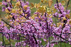 The Rising Sun Redbud (Cercis canadensis 'The Rising Sun') at Cole's Florist & Garden Centre