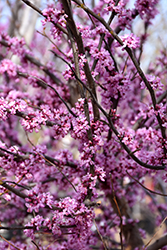 Ace Of Hearts Redbud (Cercis canadensis 'Ace Of Hearts') at Cole's Florist & Garden Centre
