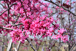 Appalachian Red Redbud (Cercis canadensis 'Appalachian Red') at Cole's Florist & Garden Centre