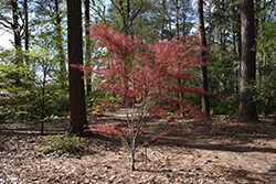 Hubb's Red Willow Japanese Maple (Acer palmatum 'Hubb's Red Willow') at Cole's Florist & Garden Centre
