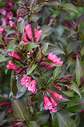 Shining Sensation™ Weigela (Weigela florida 'Bokrashine') at Cole's Florist & Garden Centre