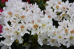 Cunningham's White Rhododendron (Rhododendron 'Cunningham's White') at Cole's Florist & Garden Centre