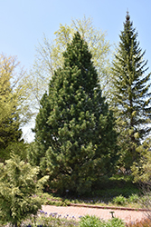 Swiss Stone Pine (Pinus cembra) at Cole's Florist & Garden Centre