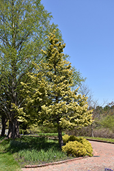 Cripps Gold Falsecypress (Chamaecyparis obtusa 'Crippsii') at Cole's Florist & Garden Centre