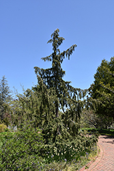 Weeping Nootka Cypress (Chamaecyparis nootkatensis 'Pendula') at Cole's Florist & Garden Centre