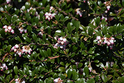 Bearberry (Arctostaphylos uva-ursi) at Cole's Florist & Garden Centre