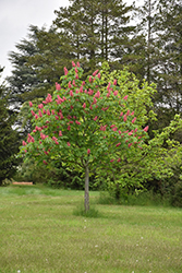 Fort McNair Red Horse Chestnut (Aesculus x carnea 'Fort McNair') at Cole's Florist & Garden Centre