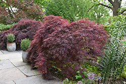 Crimson Queen Japanese Maple (Acer palmatum 'Crimson Queen') at Cole's Florist & Garden Centre