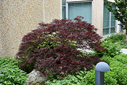 Red Dragon Japanese Maple (Acer palmatum 'Red Dragon') at Cole's Florist & Garden Centre