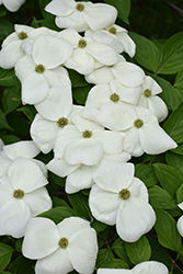 Aurora Flowering Dogwood (Cornus 'Rutban') at Cole's Florist & Garden Centre
