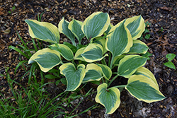 Liberty Hosta (Hosta 'Liberty') at Cole's Florist & Garden Centre