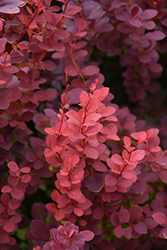 Ruby Carousel Japanese Barberry (Berberis thunbergii 'Bailone') at Cole's Florist & Garden Centre