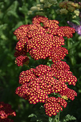 Strawberry Seduction Yarrow (Achillea millefolium 'Strawberry Seduction') at Cole's Florist & Garden Centre