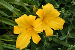 Buttered Popcorn Daylily (Hemerocallis 'Buttered Popcorn') at Cole's Florist & Garden Centre