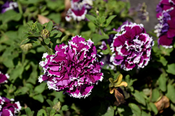 Pirouette Purple Petunia (Petunia 'Pirouette Purple') at Cole's Florist & Garden Centre