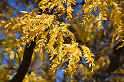 Shademaster Honeylocust (Gleditsia triacanthos 'Shademaster') at Cole's Florist & Garden Centre