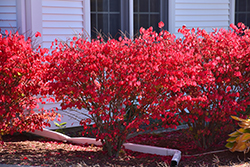 Chicago Fire Burning Bush (Euonymus alatus 'Chicago Fire') at Cole's Florist & Garden Centre