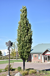 Green Pillar Pin Oak (Quercus palustris 'Pringreen') at Cole's Florist & Garden Centre