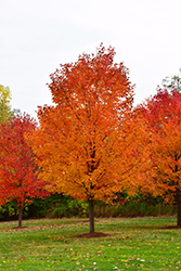 Commemoration Sugar Maple (Acer saccharum 'Commemoration') at Cole's Florist & Garden Centre