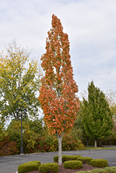 Armstrong Maple (Acer x freemanii 'Armstrong') at Cole's Florist & Garden Centre