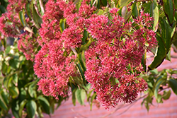 Seven-Son Flower (Heptacodium miconioides) at Cole's Florist & Garden Centre