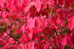 Winged Burning Bush (Euonymus alatus) at Cole's Florist & Garden Centre