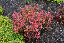 Lowbush Blueberry (Vaccinium angustifolium) at Cole's Florist & Garden Centre