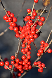Berry Poppins® Winterberry (Ilex verticillata 'FARROWBPOP') at Cole's Florist & Garden Centre