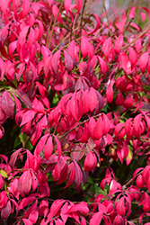 Little Moses Burning Bush (Euonymus alatus 'Odom') at Cole's Florist & Garden Centre