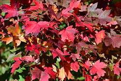 Redpointe Red Maple (Acer rubrum 'Redpointe') at Cole's Florist & Garden Centre