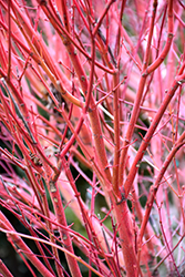 Coral Bark Japanese Maple (Acer palmatum 'Sango Kaku') at Cole's Florist & Garden Centre