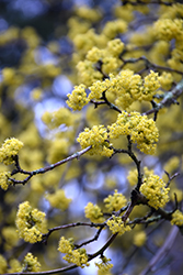 Cornelian Cherry Dogwood (Cornus mas) at Cole's Florist & Garden Centre