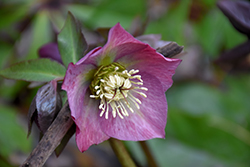 Red Lady Hellebore (Helleborus 'Red Lady') at Cole's Florist & Garden Centre