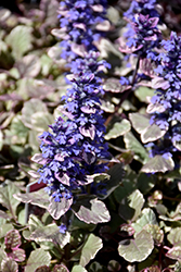 Burgundy Glow Bugleweed (Ajuga reptans 'Burgundy Glow') at Cole's Florist & Garden Centre