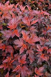 Coppertina® Ninebark (Physocarpus opulifolius 'Mindia') at Cole's Florist & Garden Centre