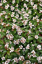 Coral Beauty Cotoneaster (Cotoneaster dammeri 'Coral Beauty') at Cole's Florist & Garden Centre