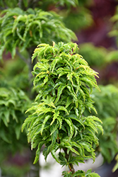 Lions Head Japanese Maple (Acer palmatum 'Shishigashira') at Cole's Florist & Garden Centre