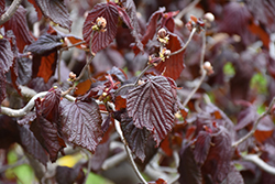 Red Majestic Corkscrew Hazelnut (Corylus avellana 'Red Majestic') at Cole's Florist & Garden Centre