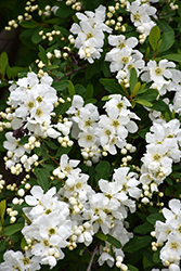Snow Day® Surprise Pearlbush (Exochorda 'Niagara') at Cole's Florist & Garden Centre