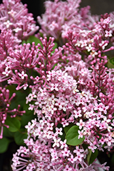 Scent And Sensibility™ Pink Lilac (Syringa 'SMSXPM') at Cole's Florist & Garden Centre
