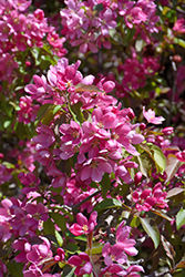 Makamik Flowering Crab (Malus 'Makamik') at Cole's Florist & Garden Centre