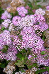 Little Princess Spirea (Spiraea japonica 'Little Princess') at Cole's Florist & Garden Centre