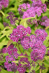 Flaming Mound Spirea (Spiraea japonica 'Flaming Mound') at Cole's Florist & Garden Centre